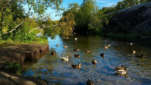Ducks quacking on a river
